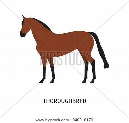 Thoroughbred Horse Flat Vector Illustration. Beautiful Brown Racehorse For Equestrian Sport Isolated