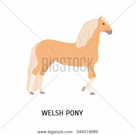Welsh Pony Flat Vector Illustration. Cute Beige Horse Isolated On White Background. Adorable Stallio