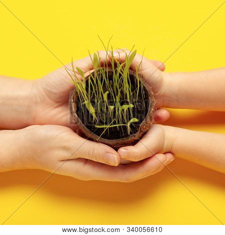 Hands On A Yellow Background Hold Growing Fresh Grass, Care For The Planet, Friendliness To Nature.