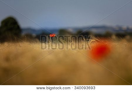Lincolnshire Wolds, East Midlands, Uk, May 2019, View Of Poppies In A Poppy Field In The Lincolnshir