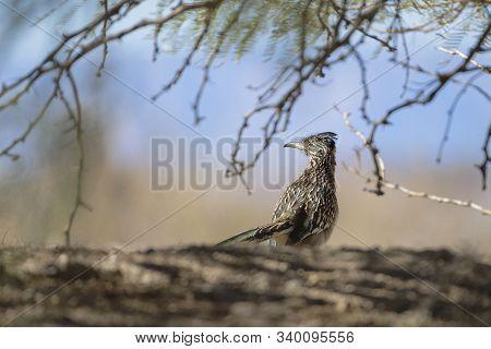 Greater Roadrunner (geococcyx Californianus) In Henderson Bird Viewing Preserve Near Las Vegas. Neva