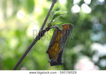 Young Shoot And Dried Leaf Of Mulberry (morus Sp.) From Central Of Thailand