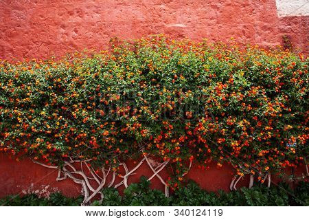 Tree In Monastery Saint Catalina, Arequipa, Peru. The Wall Red Color