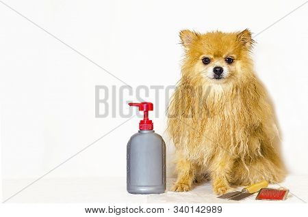Fight Against Fleas And Ticks In A Thoroughbred Dog. Care For Pomeranian. Clean, Wet, Golden Spitz H