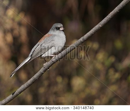 Close Up Of A Beautiful Dark Eyed Junco Bird Sitting Quietly On A Tree Branch.
