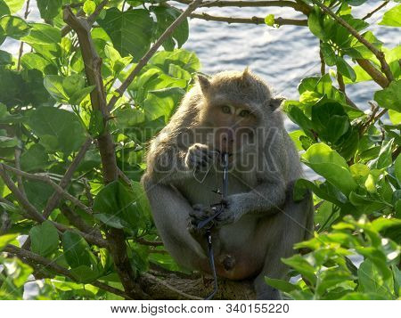 A Macaque Monkey Chews On Visitors Pair Of Glasses At Uluwatu Temple