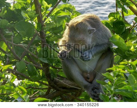 A Macaque Breaks A Pair Of Glasses At Uluwatu Temple On Bali