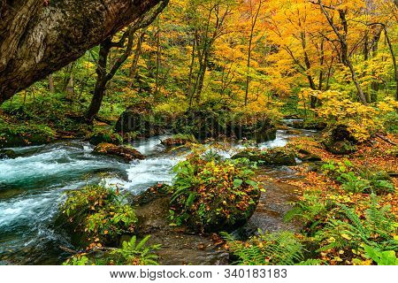 Oirase River Flow Through The Colorful Foliage Of Autumn Season Forest Passing Green Mossy Rocks Cov