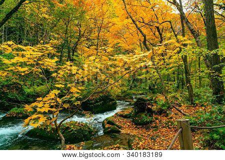 Oirase Mountain Stream Flow At The Oirase Stream Walking Trail In Colorful Foliage Of Autumn Season