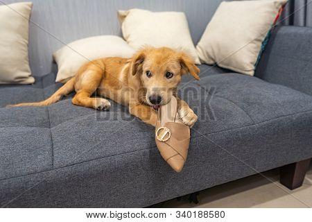 Dodgy Golden Retriever Puppy Biting A Shoe At Home