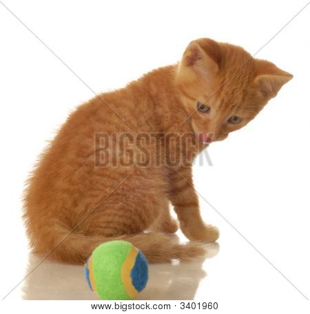 orange tabby cat turned around looking at ball - seven weeks old poster