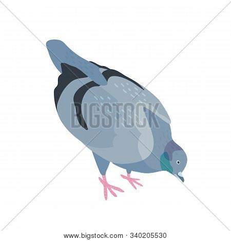 Pigeon Pecking Food Flat Vector Illustration. Bird With Dark Gray Plumage. Feathered Dove Searching