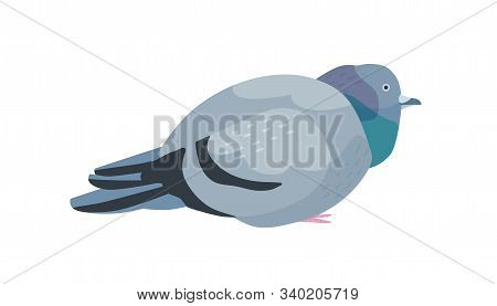 Fat Pigeon Flat Vector Illustration. Overweight Dove With Dark Gray Plumage. Cute Bird Domesticated