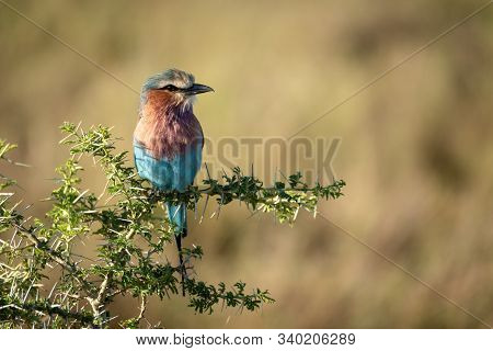 Lilac-breasted Roller Perches In Sunlit Thorn Tree