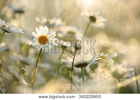 Daisies spring meadow Nature background Nature background White Flowers Nature field morning Nature background Macro Nature background chamomile sunset sun Nature background Daisy marguerite sunrise Nature background outdoor Nature background Wildflowers.