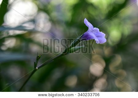 The Blossoming ,a Bokeh  Background  Of A Beautiful Purple Ruellia.