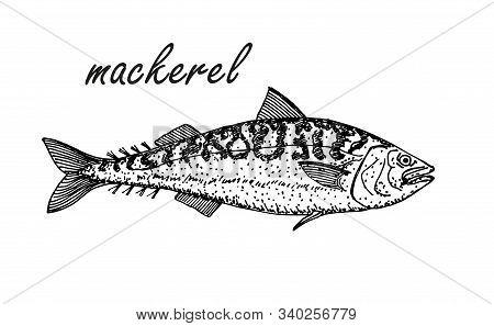 Mackerel Hand Drawing Vintage Style. Ink Sketch Of Horse Mackerel. Hand Drawn Vector Illustration Of