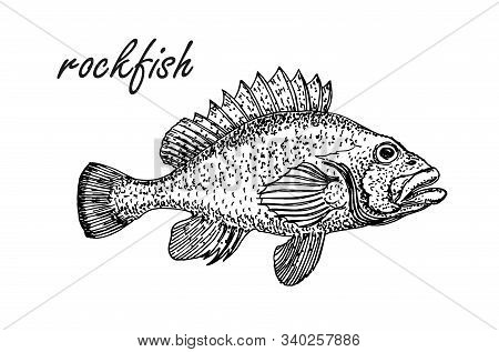 Ink Sketch Of Rockfish. Hand Drawn Of Redfish Isolated On White Background. Retro Style.