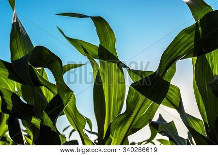 Green Corn Maize Crop Leaves In Sunset, Close Up Of Plants Growing In Cultivated Field