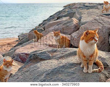 Red Cats On Sea Beach In Japan Island. Group Stray Ginger Cats On Blue Sea Rocks Background. Cute Re