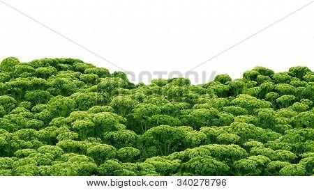 Leaves Of Sedum Plants Row Green Succulent Border Isolated. Vivid Sedum Line Horizontal Floral Succu