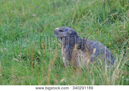Alpine Marmot (marmota Marmota) In Grass. French Alps