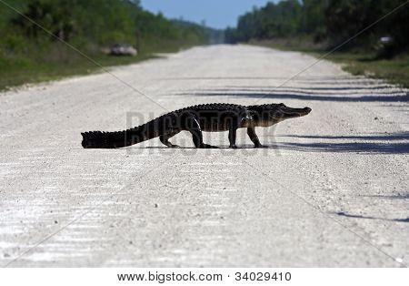 Gator Crossing