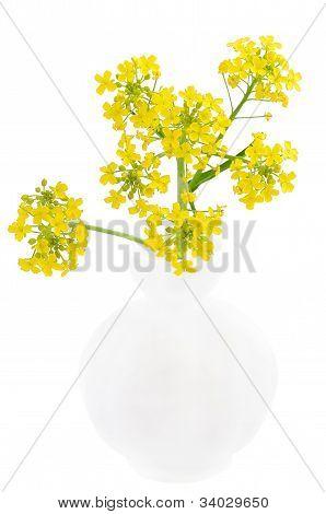Barbarea Vulgaris flores no vaso