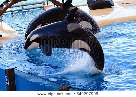 Close Up Of Two Killer Whales (orcinus Orca) Jumping Out Of The Water During A Whale Show