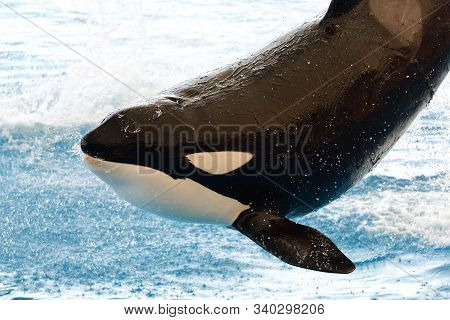 Close Up Portrait Of A Killer Whale (orcinus Orca) Jumping Out Of The Water At A Whale Show