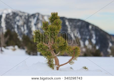 Little Pine Coming Out Of The Snow Horizontal. Nature And Vegetation Concept
