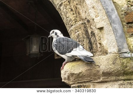 Dove On The Parapet Of An Old Building