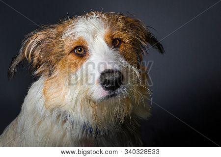 Scruffy Dog With Big Brown Eyes On Grey Background