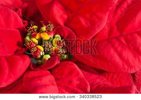 Red flower. Natural background. Close up of poinsettia plant leaves. Macro photo.