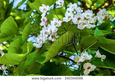 Inflorescences Of White Flowers Of A Catalpa Tree, Close Up.