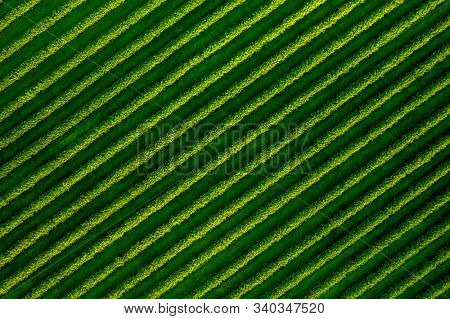 Spectacular top view of row blackcurrant bushes. Location rural place of Ukraine, Europe. Agricultural area. Drone photography. Spring wallpaper. Concept of agrarian industry. Beauty of earth.