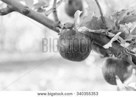 Ripe Beauty. Ripe Apples Dangle On Tree. Red Apples On Branch. Ripe Season For Fruits. Harvest Time.