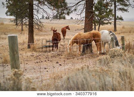 Nicola Valley Horses. Horse Grazing In The Nicola Valley Of British Columbia.