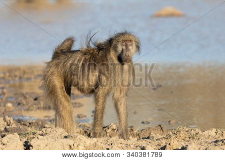 One Male Chacma Baboon At A Natural Waterhole In Kruger National Park In South Africa