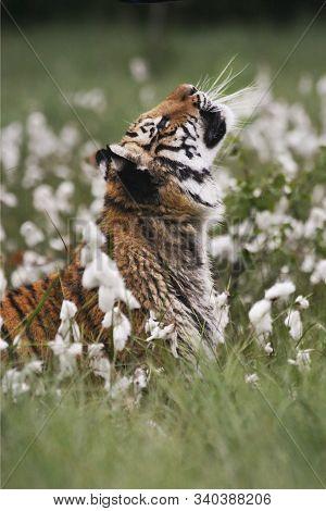 The Siberian Tiger (panthera Tigris Tigris), Or  Amur Tiger (panthera Tigris Altaica) In The Grassla
