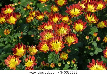 Beautiful Orange And Yellow Blooming Daisy Or Chrysanthemum Field, Background And Texture