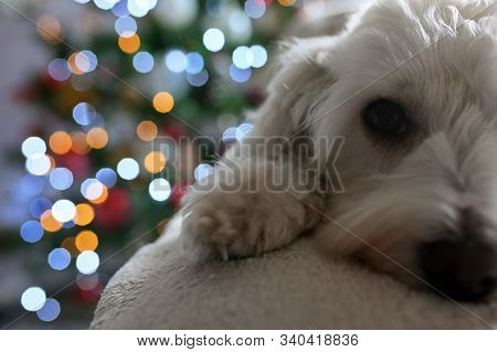 Holiday Maltese Dog And Christmas Lights, Close Up