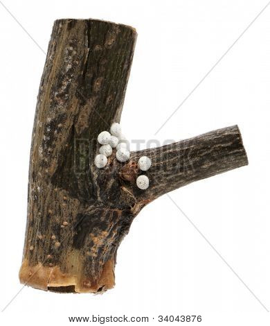 Brown Hairstreak, �¬â�Thecla betulae, eggs on branch against white background