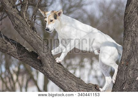 White Cross-breed Dog Clambering Up On A Leafless Apricot Tree At Winter Season