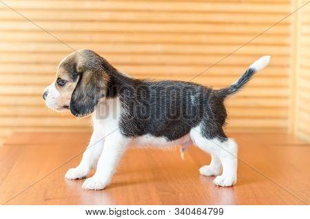 A Cute Beagle Puppy Dog Studio Shot