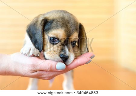 A Cute Beagle Puppy On The Hand