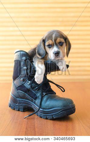 Cute Beagle Puppy Sitting In A Boot