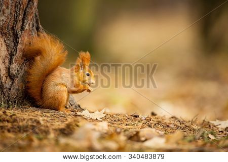 Squirrel. The Squirrel Was Photographed In The Czech Republic. Squirrel Is A Medium-sized Rodent. In