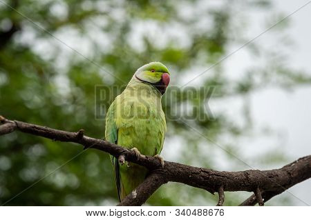 Rose Ringed Parakeet Or Ring Necked Parakeet A Parrot From Keoladeo National Park, Bharatpur, Rajast