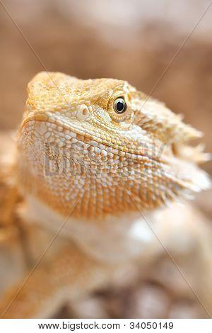Female bearded dragon face